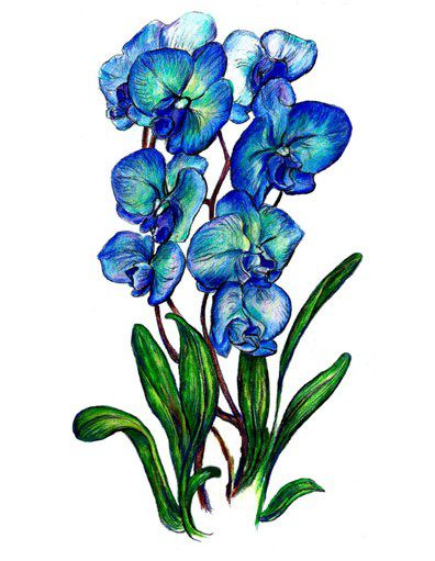 Blue Orchid Tall
